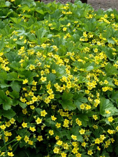 Waldsteinie Blüte