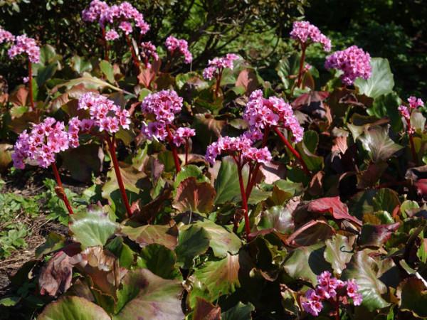 Die Bergenie 'Herbstblüte'