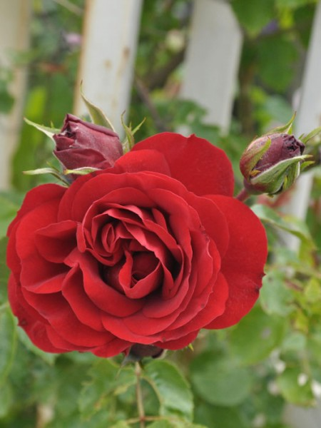 Blühende Rose Amadeus