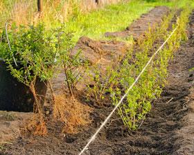 Hecken-Pflanzung