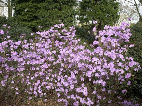 Rhododendron praecox, wintergrüner Rhododendron