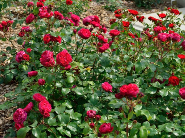 Rose Red Leonardo da Vinci