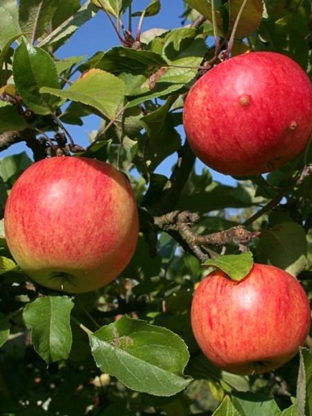 Äpfel Games Grieve