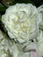 Rose White Meidiland ® - Meilland