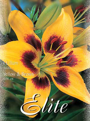Asiatische Lilien-Hybride 'Yellow and Brown', Lilium (Art.Nr. 521692)