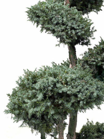 Juniperus chinensis 'Blue Alps' Bonsai-Form, XXL-Produkt