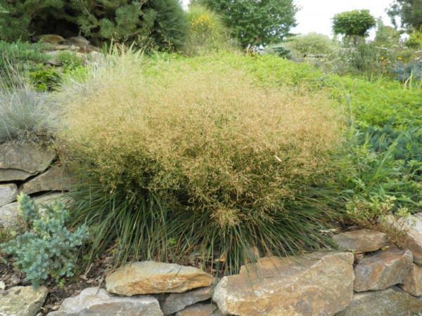 Deschampsia cespitosa 'Palava', niedere Waldschmiele
