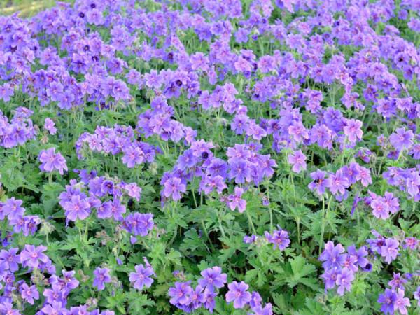 Geranium magnificum, Pracht-Storchschnabel, Großer Gartenstorchschnabel