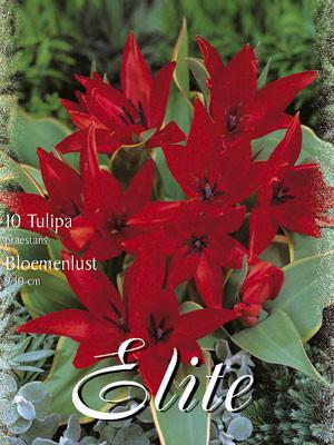 Botanische Tulpe 'Bloemenlust' (Art.Nr. 595666)