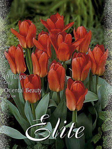 Greigii-Tulpe 'Oriental Beauty' (Art.Nr. 595764)