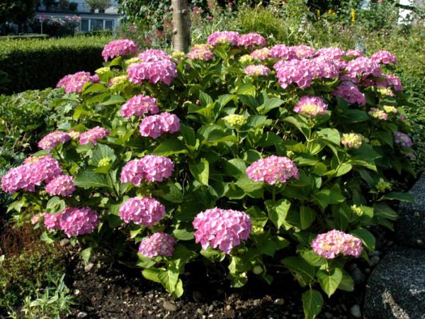 Solitärpflanze Bauernhortensie Bouquet Rose