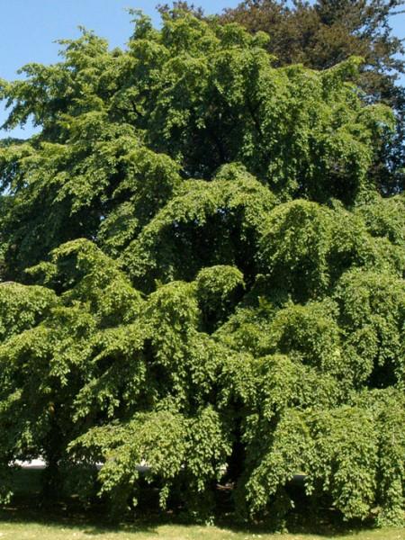 Hainbuchen Baum