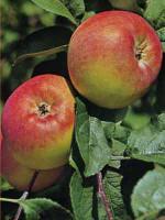 Apfel Jakob Fischer