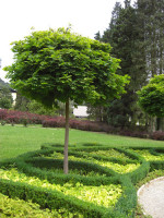 Acer platanoides Globosum, Kugelahorn - XXL-Produkt