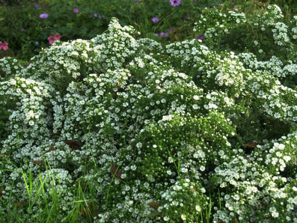 Aster ericoides 'Snow Flurry',kriechende Myrtenaster, Garten-Erika-Aster