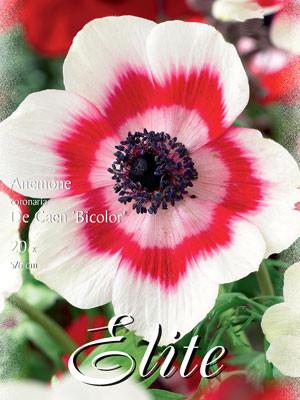 Anemone De Caen 'Bicolor', Anemone coronaria (Art.Nr. 520752)