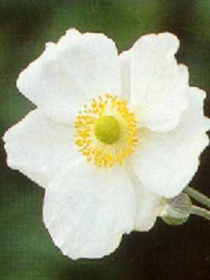 anemone-weiss