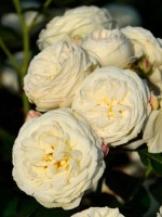 Rose Artemis ® - Tantau
