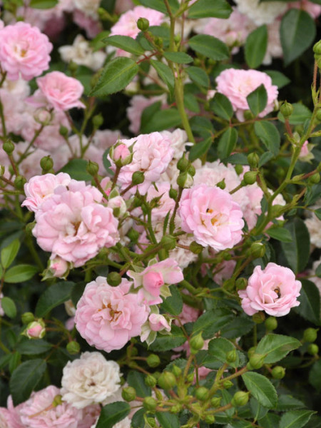 Blüten der Rose The Fairy