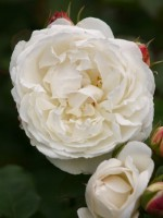 Rose Winchester Cathedral ® - Austin