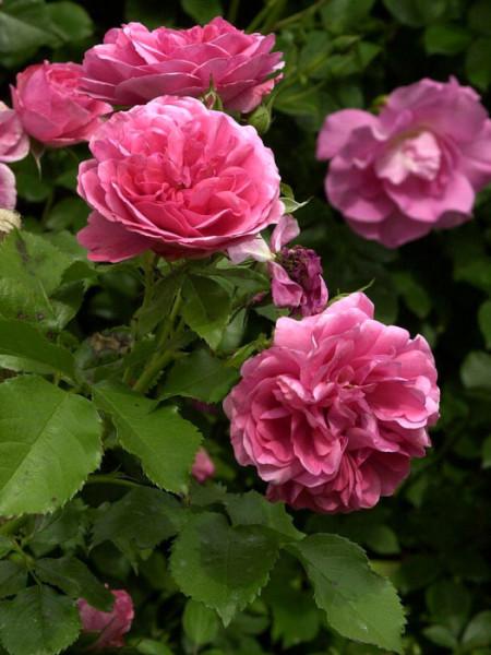 Blüte der Rose Rosarium Uetersen