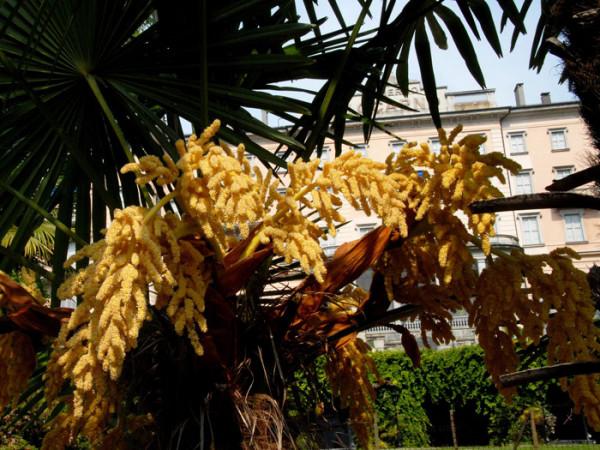 Blütenstand der Hanfpalme