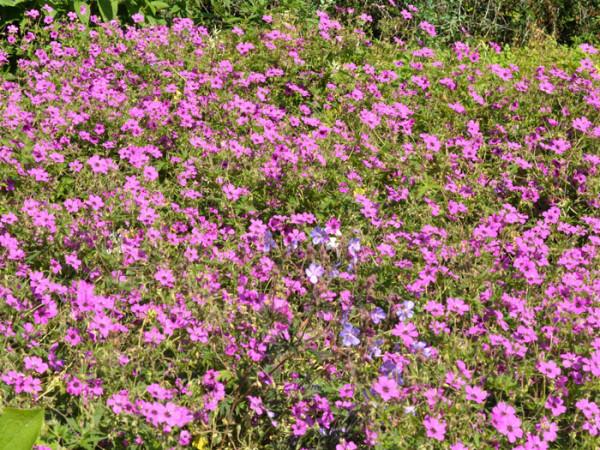 Geranium psilostemon 'Patricia', Armenischer Storchschnabel