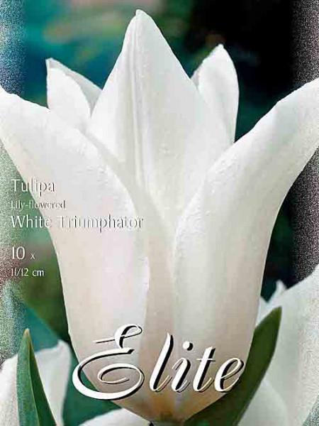 Lilienblütige Tulpe 'White Triumphator' (Art.Nr. )