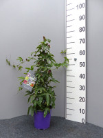 Passionsblume 'Amethyst', Passiflora
