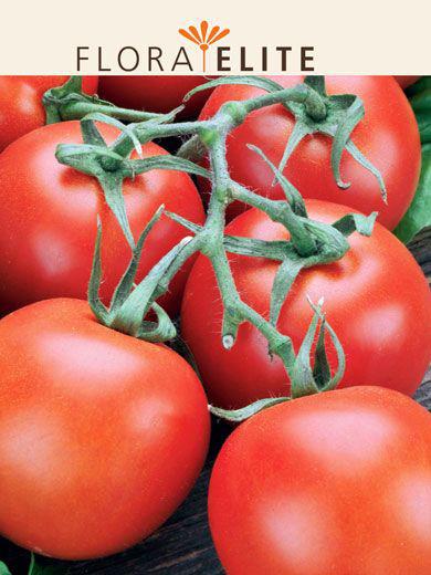 Tomate 'Hellfrucht' (Art.Nr. 21555)