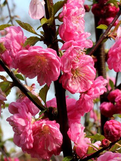 Mandelbäumchen Blüte