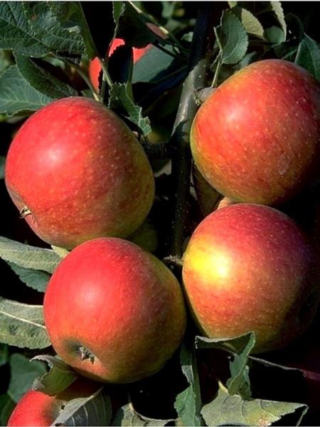 Der Apfel 'Alkmene'