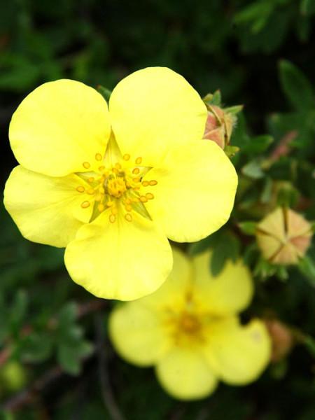 Fünffingerstrauch Kobold Blüte