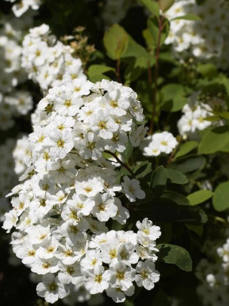 Prachtspiere Blüte