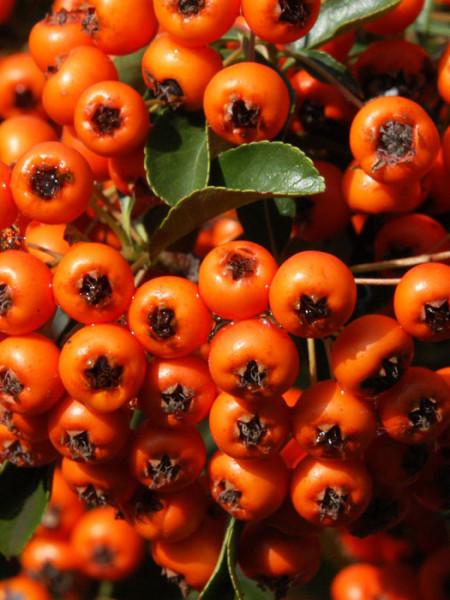 Pyracantha 'Orange Charmer', Feuerdorn