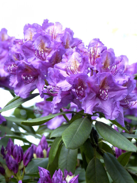 Rhododendron 'Lee's Dark Purple'