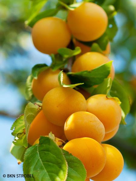 Pfirsich-Aprikose - Pfirsicose®