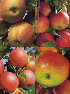 4 Apfelbaum