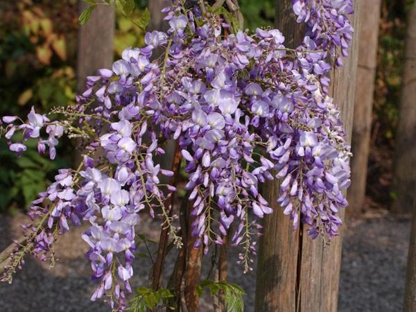Blauregen Prolific Blüte