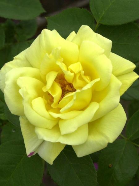 Blüte der Rose Goldstern