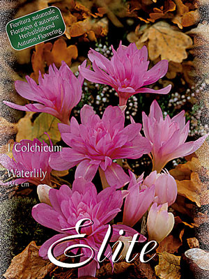 Herbstzeitlose 'Waterlily Seerose', Colchicum (Art.Nr. 596574)
