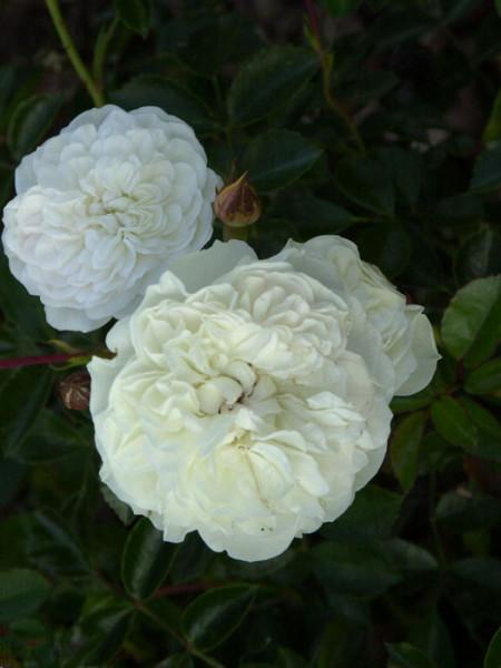 Blüte der Rose Swany