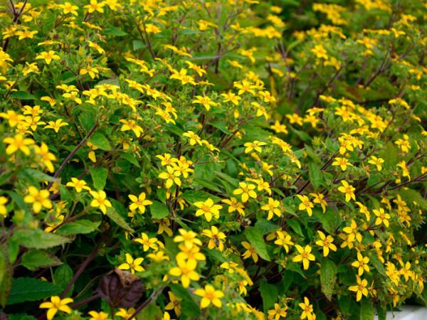 Das Goldkörbchen in voller Blüte