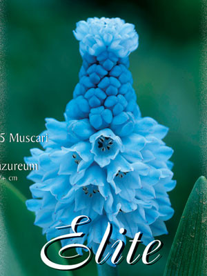Traubenhyazinthe 'Azureum', Muscari (Art.Nr. 597178)