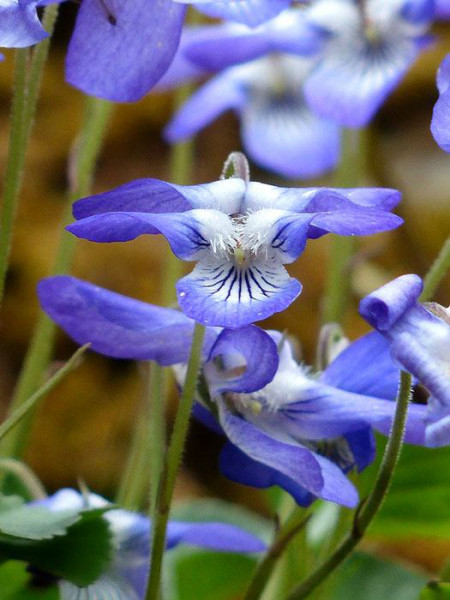 Viola odorata 'Königin Charlotte', Duft-Veilchen