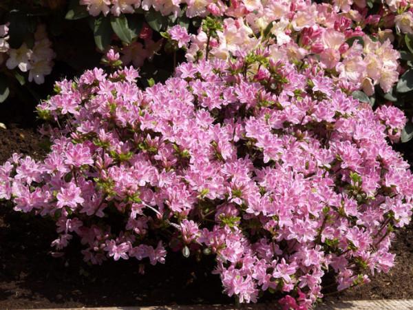 Rhododendron obtusum 'Kermesina Rose', wintergrüne japanische Gartenazalee