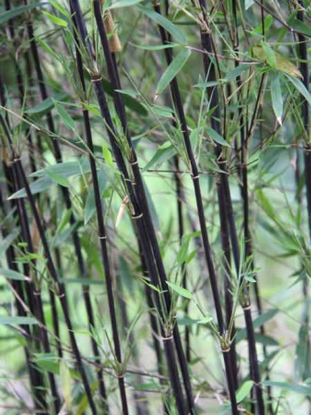 Fargesia jiuzhaigou 'Deep Purple', Jade Bambus, rothalmiger Schirm-Bambus