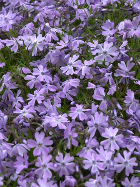 Phlox subulata 'Emerald Cushion Blue' Polster-Phlox, Teppich-Phlox, Teppich-Flammenblume