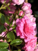 Rose Jasmina ® - Kordes