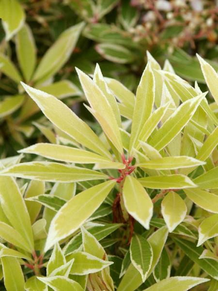 Weissbuntes Schattenglöckchen Blatt